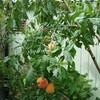 庭の枝垂れ桃、今年も10コ以上の収穫!