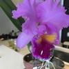 蘭の花が咲きました。   大事にしているカトレア