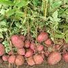 ジャガイモ(アンデスレッド)の収穫