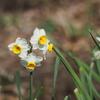 みかもやま公園の春の花シリーズ「スイセン」