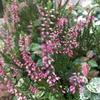 カルーナという植物