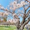桜を見るサイクリング!舞鶴公園!