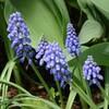 自宅花壇のムスカリ・色な場所の思い出・紫10…