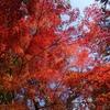 神戸森林植物園、2020秋、もみじ紅葉見頃。ホオジロ。