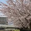 「佐久の季節便り」花曇り、「ひろば」の「ソメイヨシノ桜」が見頃に…。