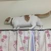 カーテンレールの上にのぼる猫たち