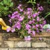 【育てて良かった一年草】花が長く咲く『スーパートレニア』地植えした1年間の成長記録