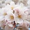 あちこちで桜が満開