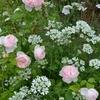 オルレアが咲いてます