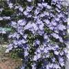 見事な花は「クレマチス」でした