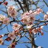 帰り道、早咲きの桜に会いました。