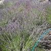 山梨のラベンダー摘みってやっぱり楽しい!山梨めぐり