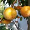柿と落ち葉