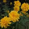 実家の夏の庭花