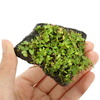 (水草)巻きたて オーストラリアン ノチドメ 輝板石 Sサイズ(無農薬)(1個) 北海道航空便要保温