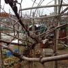 ピオーネの剪定 2年後が理想かな Pruning the tree of Pione