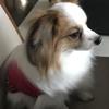 愛犬   パピヨン
