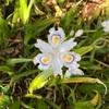 日陰にも気骨のありて著莪の花(あ)