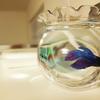 うちにいる魚…ベタ