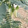 ソロ郊外の植物