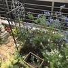 一番のお気に入りでオススメの庭木:セアノサス(カリフォルニアライラック)の成長