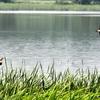 湖上を飛ぶヨシゴイ