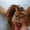 猫アルバム ~朝晩の冷え込みが厳しくなってきたときのソマリとノルウェージャンフォレストキャットの様子は?~