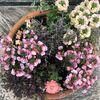 ラナンキュラスの寄せ植えがコロキアの寄せ植えになった日