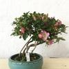 花物盆栽のお手入れについて