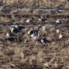 田んぼから一斉に飛び立つオオヒシクイの群れ