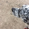 【子犬のしつけ】トイレトレーニング、習性を利用した具体的な例