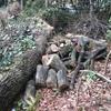 薪ストーブカンブリア紀⑪ コナラの巨原木との格闘・前編