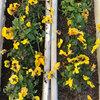 2017年最初の「みやがせ花の日」は黄色いビオラ