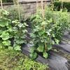 [2021家庭菜園]野菜は雑草と共におがる