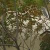 シマトネリコの葉が落ちる