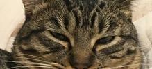 チベットスナギツネ猫