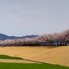 春は桜が見たくなりますね