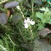 ホーリーバジルとローズマリーの花
