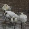 鳥 photo D-344    宮崎県 一ツ瀬川河口域 <時の彼方に> senjinsennin  令和2年12月8日