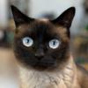 シャム猫に似た猫!? シャム柄「モカ」の紹介