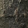 樹皮:フジキ