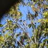 コマドリ・エゾムシクイ・サンショウクイ他多くの夏鳥(大阪城野鳥探鳥 2019/04/20 5:05-12:00)
