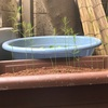 ペットボトル家庭菜園!種まきから29日目