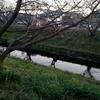 2月13日(水)浜松市の芳川で観た桜