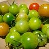 痩せた土に植えたトマト