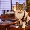 山形県・天童温泉 松伯亭あづま荘、ねこ女将「まいちゃん」が人気、自慢看板猫ランキング2位