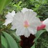 「まつこの庭」の白い夏の花