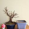 梅盆栽植え替え