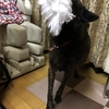 猟犬サン、(今頃)出猟するッの巻〜(9`・ω・)9頑張リマス.+゚*。:゚+