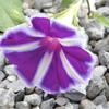 寒くなってきてアサガオが咲く、来週はまた暑さが戻るそうだが。